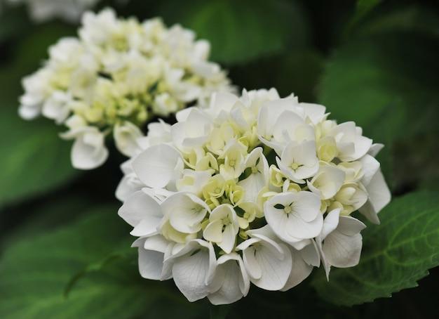 Witte hortensia (hortensia)