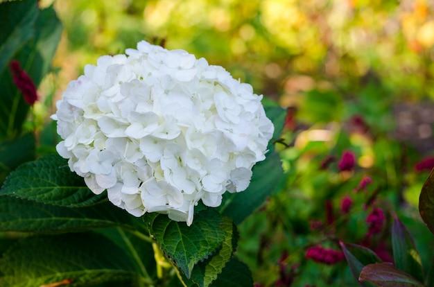 Witte hortensia in volle bloei in vandusen botanical gardens, vancouver, bc, canada