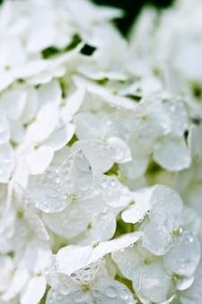 Witte hortensia met waterdruppels.
