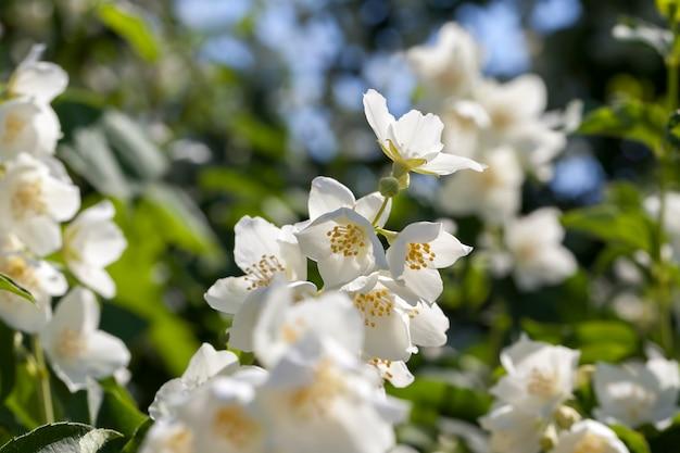 Witte jasmijn bloeiend in de zomer, bloeiende planten voor het decoreren van het territorium