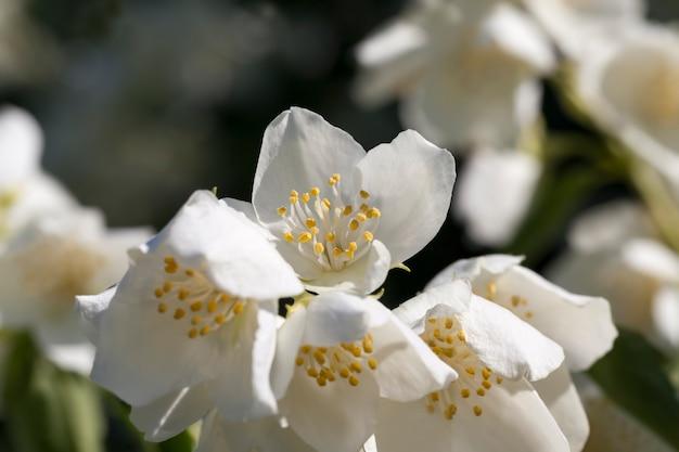 Witte jasmijn bloeiend in de zomer