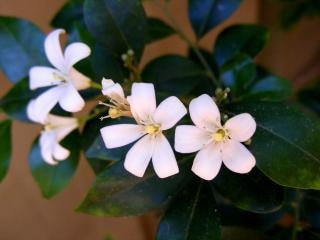 Witte jasmijn bloem