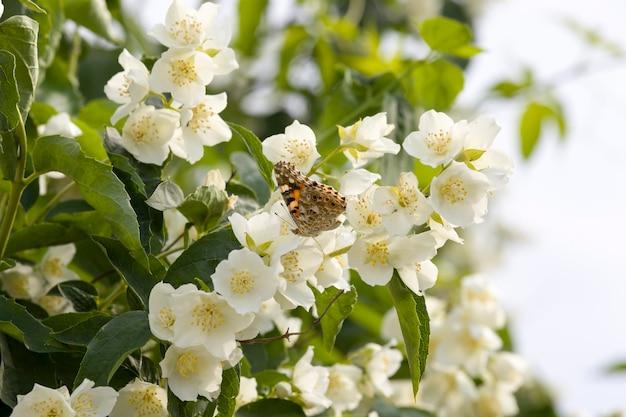 Witte jasmijn bloemen