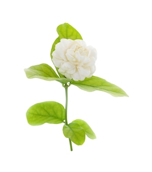 Witte jasmijn op witte geïsoleerde achtergrond