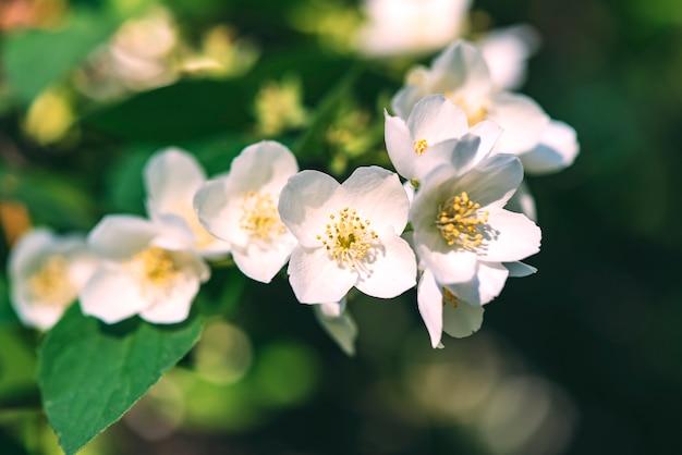Witte jasmijnbloemen, jasmijnbloesem, lentetijd