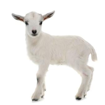Witte jonge geit