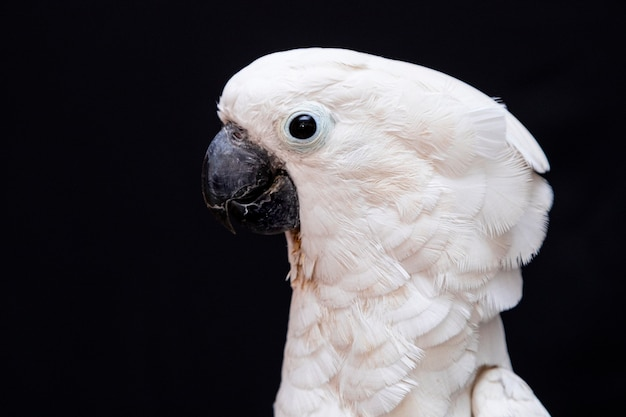 Witte kaketoe close-up met zwarte.