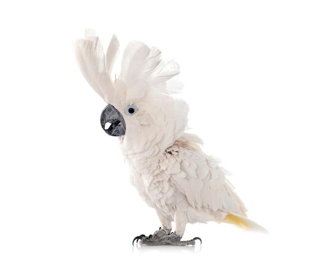 Witte kaketoe geïsoleerd op wit