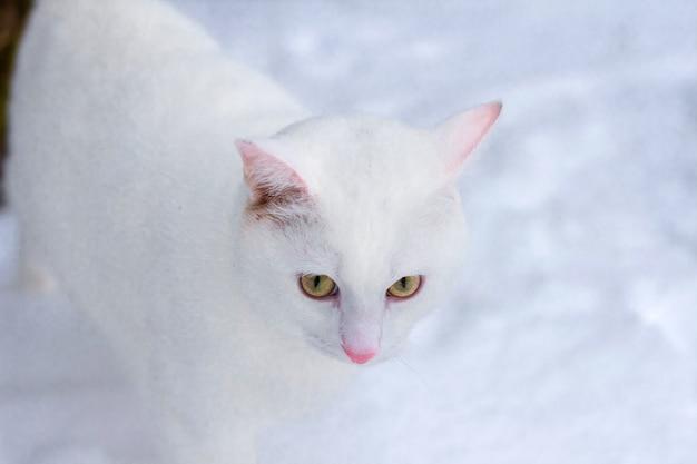 Witte kat met gele ogen close-up op sneeuw in de winter