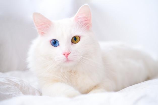 Witte kat met verschillende kleurenogen.
