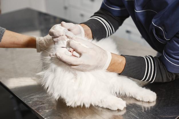Witte kat op bank. dierenarts in handschoenen. zieke ogen bij de kat.