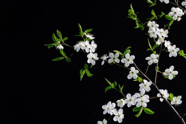Witte kersen bloeiende bloemen op zwarte achtergrond met kopie ruimte