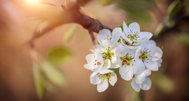 Witte kersen-, kersen- of perenbloemen