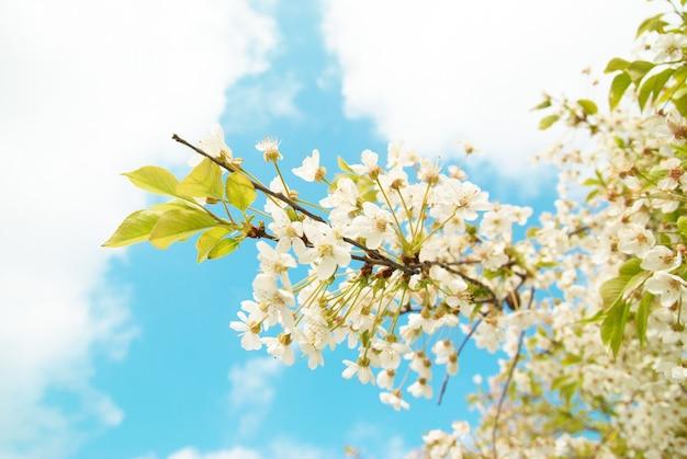 Witte kersenbloemen met blauwe hemel