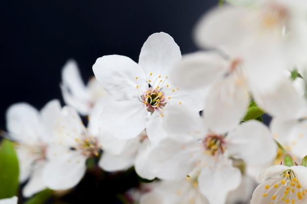 Witte kersenbloemen op een zwarte achtergrond, de lente