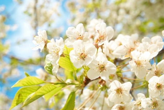 Witte kersenbloemen