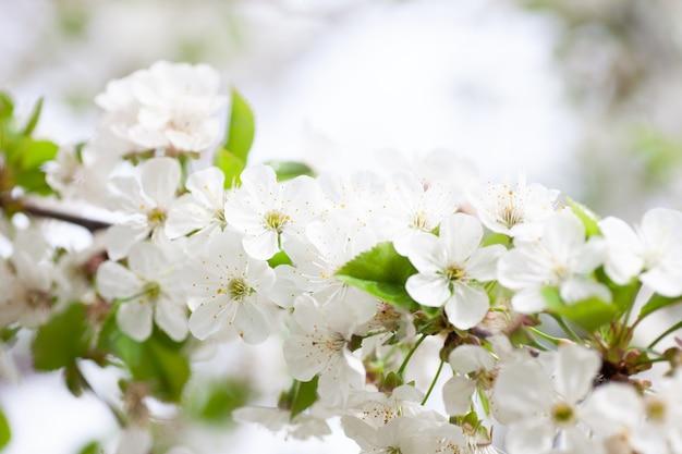 Witte kersenbloesem close-up kersentak met jonge groene bladeren en sneeuwwitte bloemen in het voorjaar ...