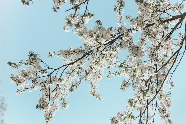 Witte kersenbloesems in de lentezon met blauwe hemel