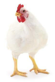 Witte kip geïsoleerd op wit