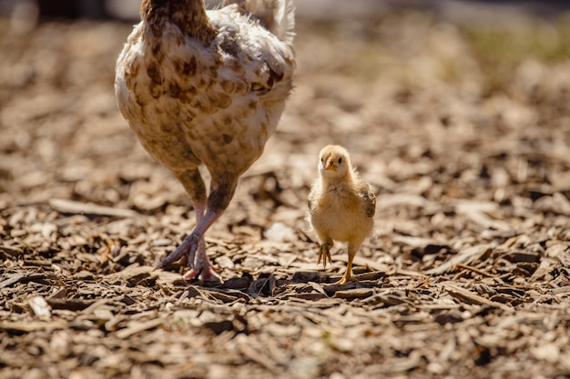 Witte kip op bruine aarde