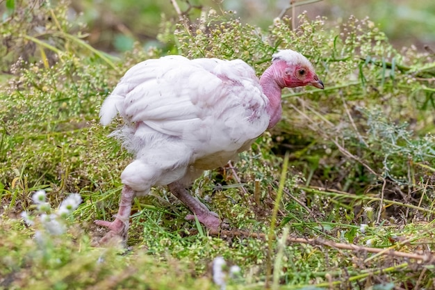 Witte kippenras met naakte nek loopt in de tuin op het gras en op zoek naar voedsel