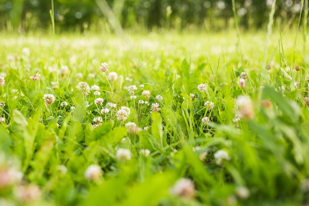 Witte klaver in de groene gras frisse zomer of lente achtergrond