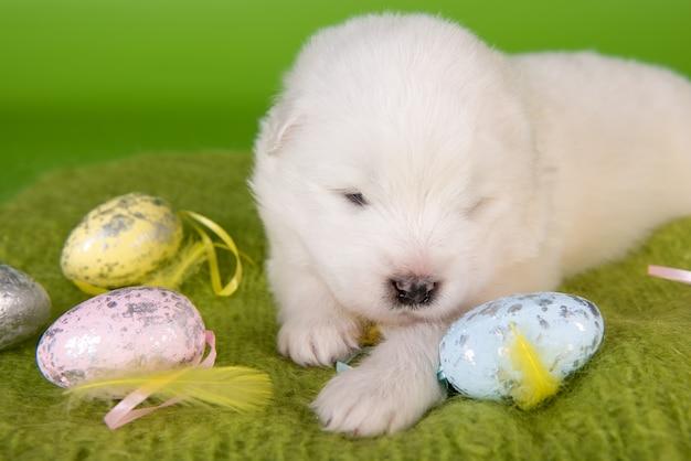 Witte kleine samojeed puppy hondje met eieren op pasen