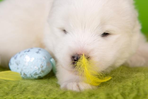 Witte kleine samojeed puppy hondje met paaseieren en een gele veer op groene achtergrond