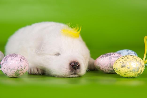 Witte kleine samojeed puppy hondje met paaseieren en een gele veer op zijn hoofd op groene achtergrond