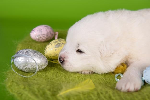 Witte kleine samojeed puppy hondje met paaseieren op groene achtergrond