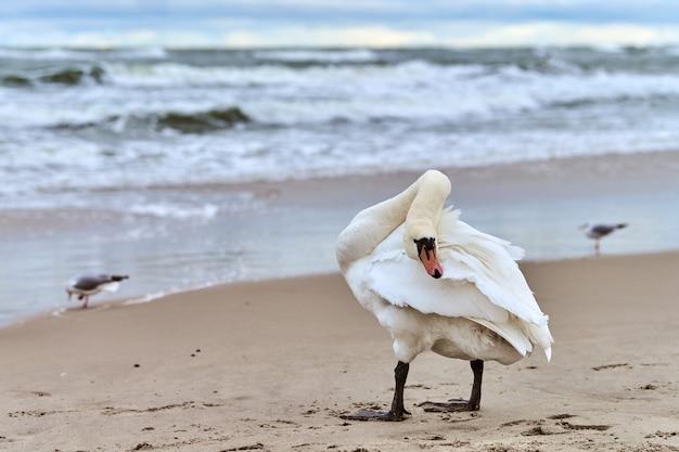 Witte knobbelzwaan die op het zandstrand in de buurt van de oostzee staat en zijn veren schoonmaakt