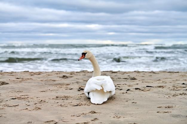 Witte knobbelzwaan zittend en rustend op zandstrand hoor blauwe oostzee
