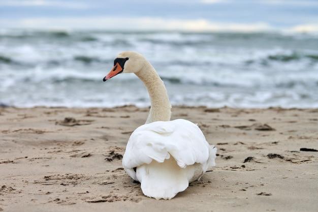 Witte knobbelzwaan zittend en rustend op zandstrand hoort blauwe oostzee. winters zeegezicht.