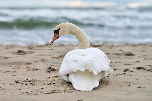 Witte knobbelzwaan zittend en rustend op zandstrand horen blauwe oostzee