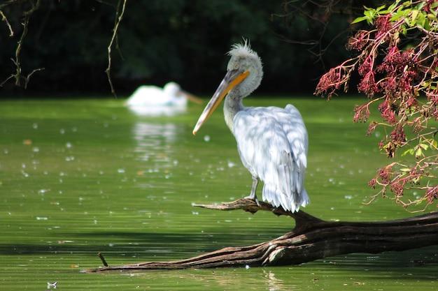 Witte knorrige pelikaan die op een stuk hout dichtbij het meer neerstrijkt