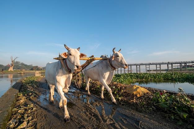 Witte koe lopen in veld