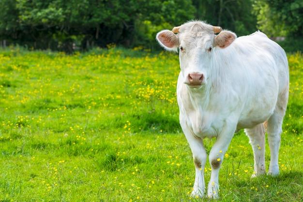 Witte koe op de groene weide