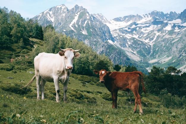 Witte koe staat in de bergvallei op besneeuwde toppen met weinig kalf
