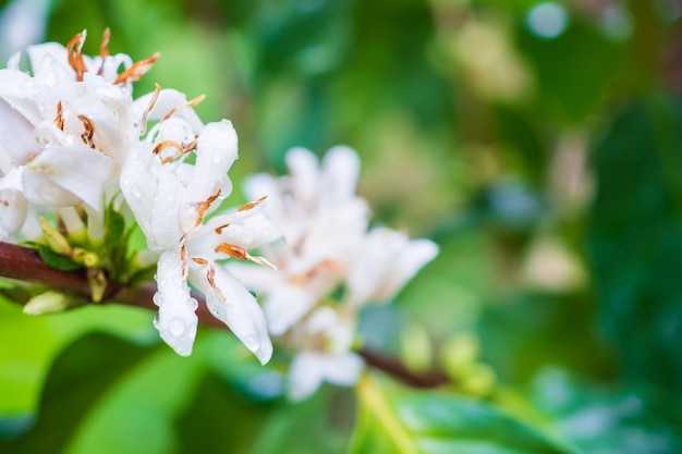 Witte koffie bloemen in groene bladeren boom plantage close-up