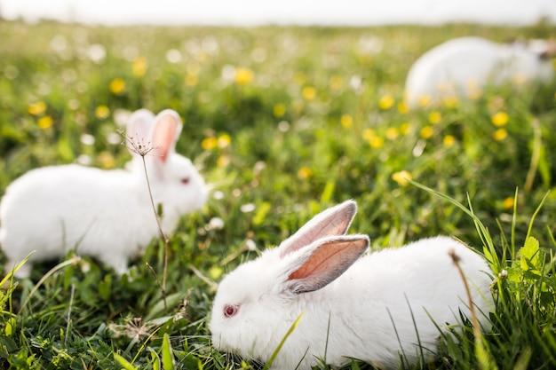Witte konijnen in voorjaar groen gras