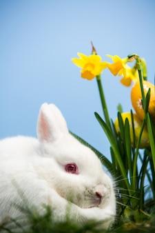 Witte konijnzitting naast gele narcissen met paaseieren in het gras