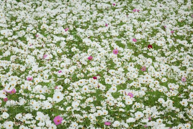 Witte kosmos bloemen boerderij in de buitenlucht