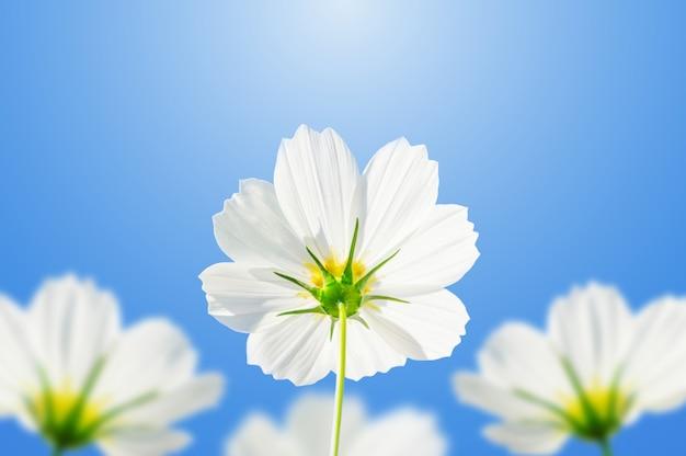 Witte kosmosbloemen op een blauwe hemelachtergrond.