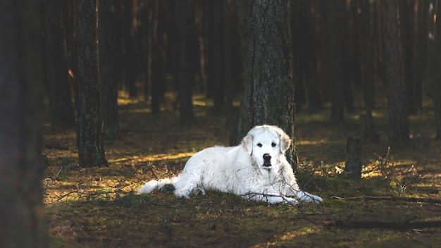 Witte kuvasz-hond die op de bosbodem achter de bomen ligt