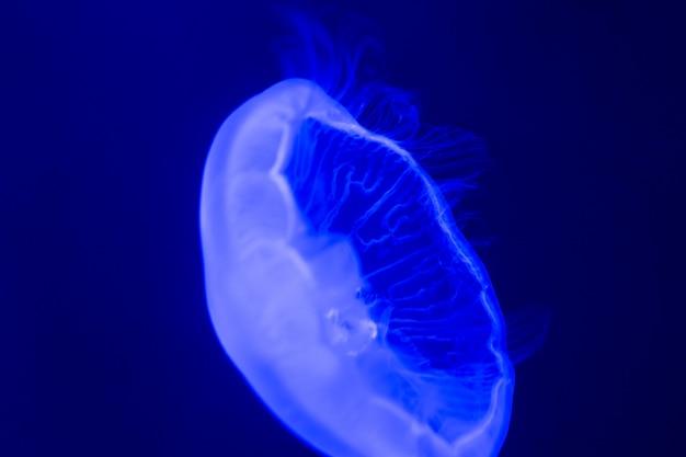 Witte kwallen die in blauw water zwemmen