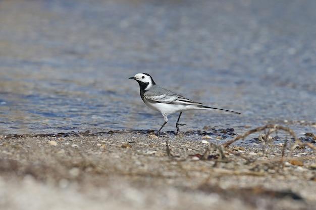 Witte kwikstaart (motacilla alba) loopt langs de oever van de riviermonding. foto dichten