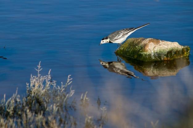 Witte kwikstaart op een steen die controleert en vecht tegen zijn eigen weerspiegeling in het water