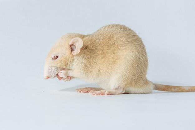 Witte laboratorium rat muis met rode ogen geïsoleerd op een witte achtergrond