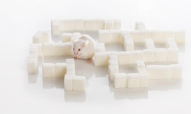 Witte laboratoriummuis in een labyrint van suikerkubussen, diabetesconcept