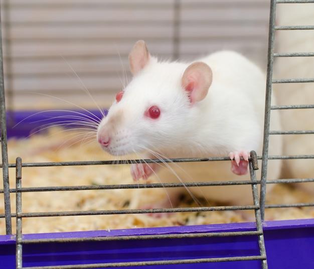 Witte laboratoriumrat die uit een kooi kijkt (selectieve focus op de rattenogen)